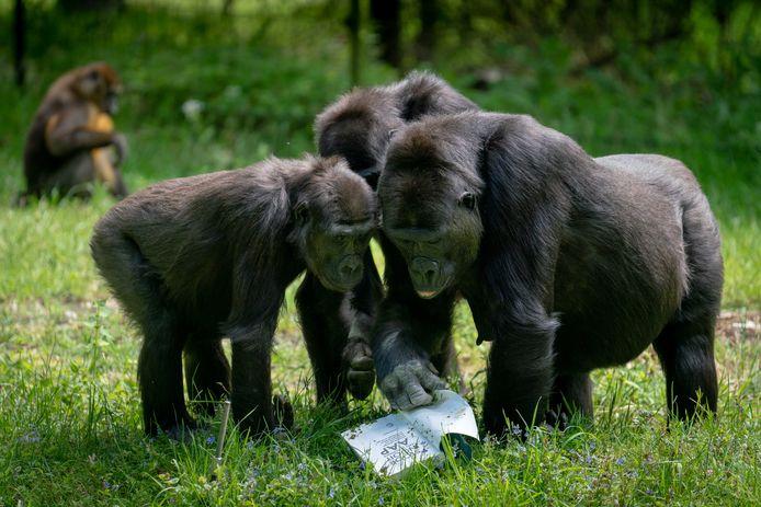 De Arnhemse gorilla's vorig jaar bij de uitreiking van een boek over apen.