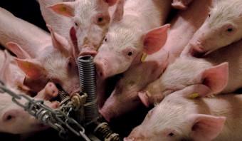 De lobby voor de intensieve veehouderij is nietsontziend