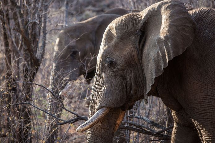 Stropers doden elk jaar 30.000 tot 40.000 olifanten