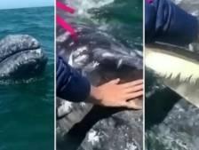 Les images rares d'une jeune baleine grise se faisant caresser
