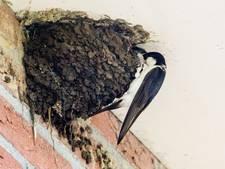 Aantal huiszwaluwen in 'de Kop' vliegt achteruit