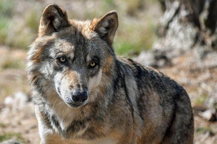 Wolf, archiefbeeld.