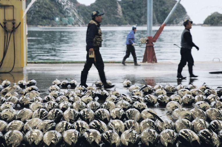 Blauwvintonijn - essentieel voor een heel ecosysteem - staat bovenaan de lijst van met uitsterven bedreigde vissen. Beeld getty