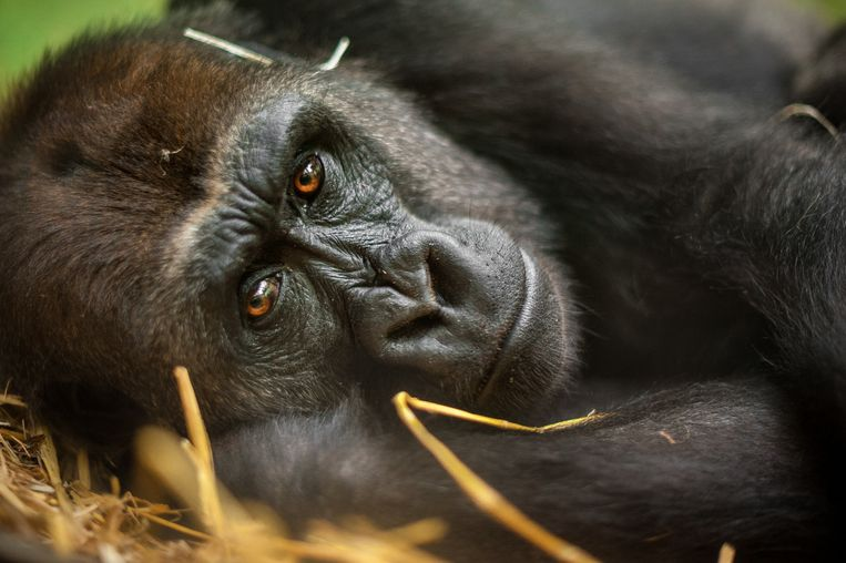 Gorilla Mayani (17)