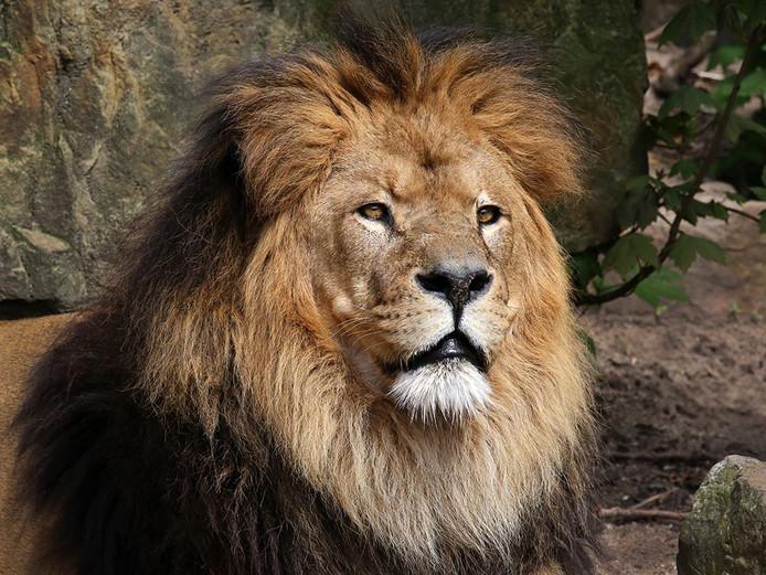 Ceasar werd voor een leeuw behoorlijk oud, namelijk 20 jaar.