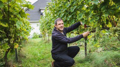 Gentenaar maakt wijn, gewoon in eigen tuin