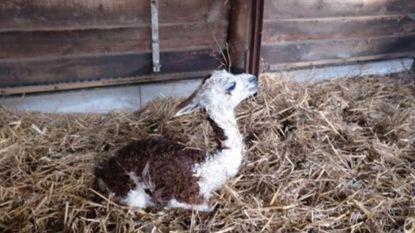 Nieuw leven bij AZ Sint-Blasius: paartje alpaca's krijgt baby