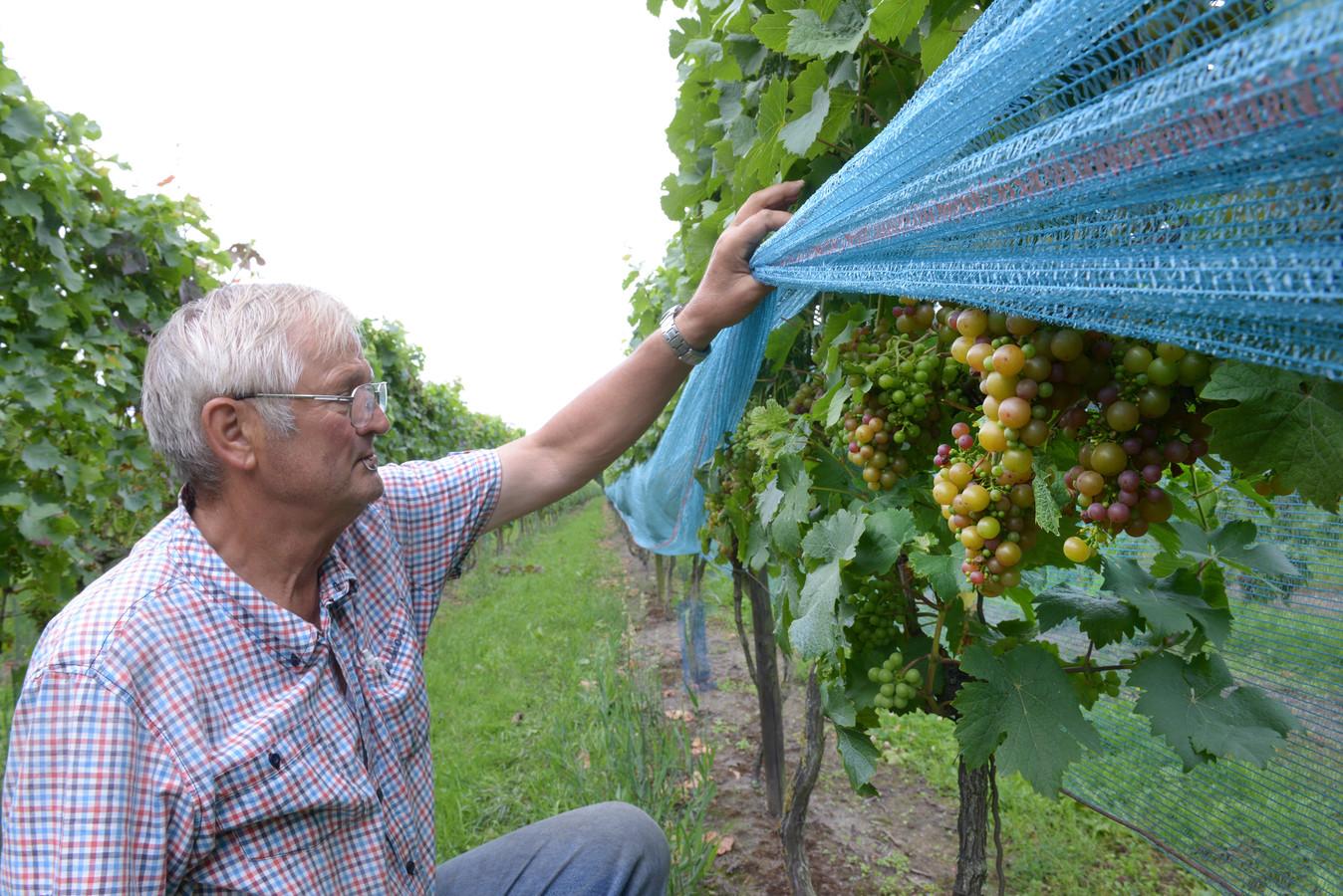Archieffoto van Marius van Stokkum in zijn wijngaard De Linie in Made in 2017.