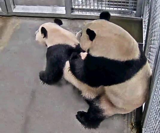 Eerste paring reuzenpanda's in ouwehands dierenpark rhenen