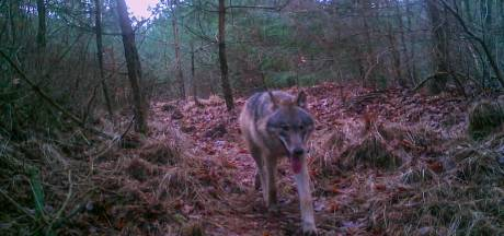 Nu al twee keer zoveel aanvallen door wolven in Nederland als in heel 2019