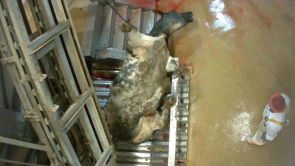 September 2017, slachthuis Verbist: Izegem runderen krijgen stroomstoten, worden opgehangen en onverdoofd gekeeld