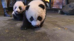 Babypanda's zetten eerste stapjes in verblijf Pairi Daiza