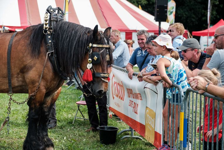 De Alkse Oogstfeesten zetten het Belgisch trekpaard in de kijker.