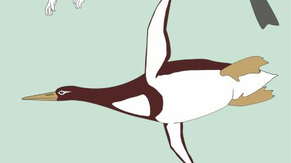 1,77 meter en 100 kilo: fossiel van reuzenpinguïn ontdekt in Nieuw-Zeeland