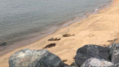 """Vrijwilligers waken over zeehonden op strand van Oostende: """"Ze zijn een toeristische attractie, maar we vragen iedereen ze met rust te laten"""""""