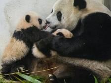 Hoe gaat de pandababy heten? 'Uiteindelijk zal de beslissing bij China liggen'