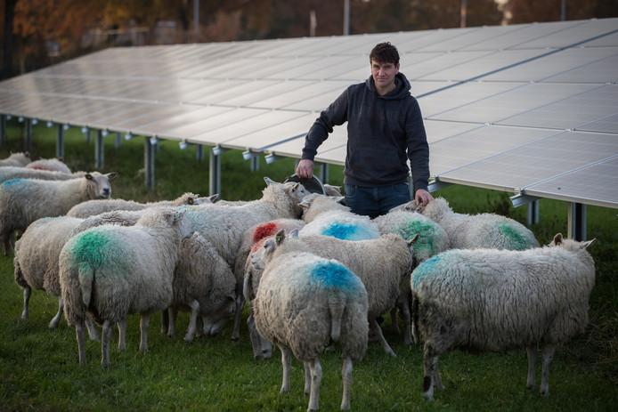 Mark Kloosterman op het zonnepark in Heeten met zijn schapen.