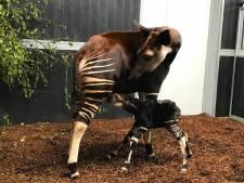 Zeldzaam: okapi geboren in Beekse Bergen, kalfje krijgt de naam 'Guus'
