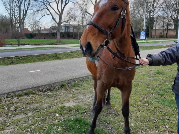 Loslopende paarden zorgen voor consternatie in Eindhoven, één persoon gewond