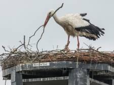 Eerste ooievaarsjong breekt uit het ei: 'Het lijkt op zijn moeder'