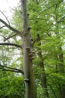 Veel bomen in  het wandelgebied 'De Eilandjes' worden aangetast door zwammen.