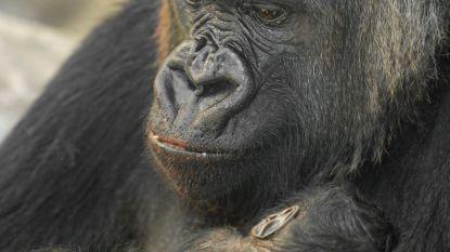 Zoo Antwerpen verwelkomt babygorilla