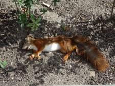 'Eekhoorns dupe van Rucphense rondweg'