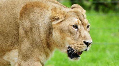 LIVE: Ontsnapte leeuwin loopt los in Planckendael, park gaat mogelijk niet meer open vandaag