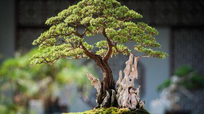 Dief gaat aan de haal met bonsaibomen ter waarde van 100.000 euro