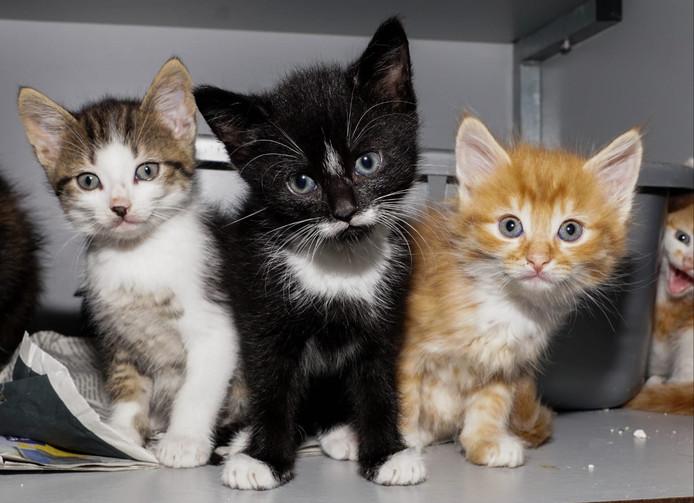 Het is topdrukte bij Stichting Zwerfkatten Rijnmond. Veel kittens moeten nog geplaatst worden en de meldingen van nieuwe straatkatten blijven binnenstromen.