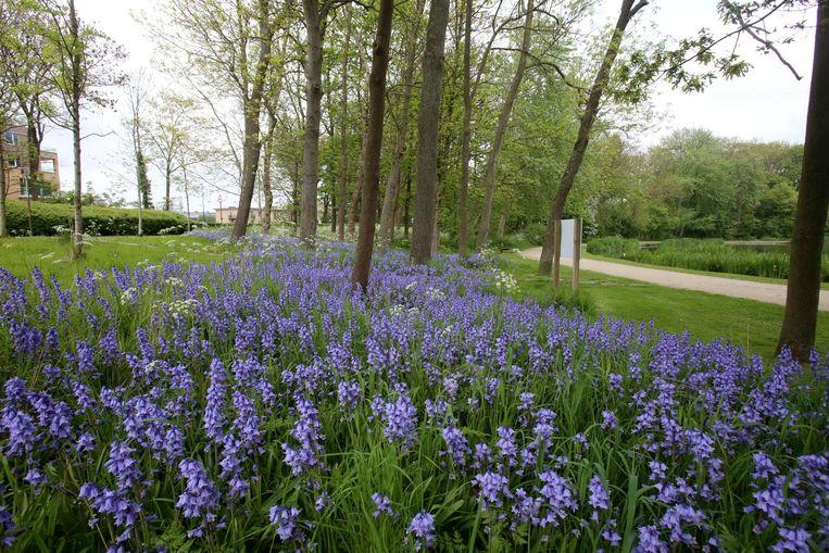 De paarsblauwe bloemenpracht in het Maria Hendrikapark.