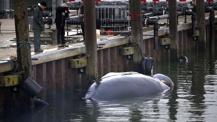 Het kadaver van de bultrug in de haven. Beeld ANP