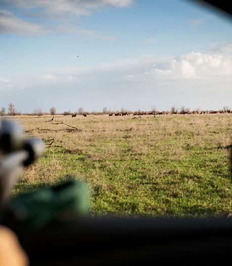 Harde wind hindert boswachters: slechts drie herten geschoten in Oostvaardersplassen