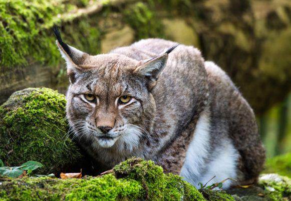 De Lynx werd al eens in Voeren gesignaleerd.