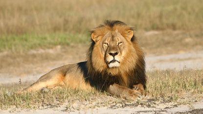 Te veel leeuwen in Afrikaans park door 'Cecil-effect'