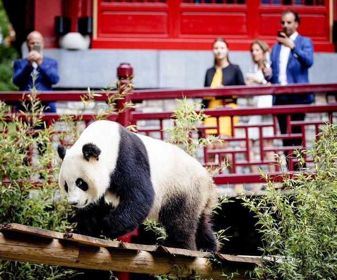 Panda Wu Wen tijdens de officiële opening van het reuzenpandaverblijf Pandasia in Ouwehands Dierenpark.