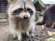 Schattig: nieuwe wasbeertjes meteen al dikke maatjes met huidige bewoners van Blijdorp