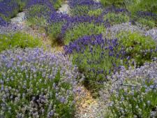 Corona raakt Boskoopse sierteelt: kwekers raken hortensia's, lavendel en wilgentakken niet kwijt