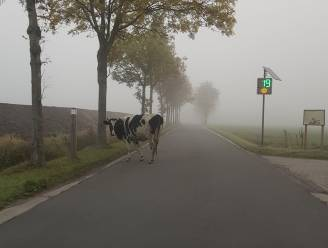 Koe op wandel houdt zich aan de snelheid
