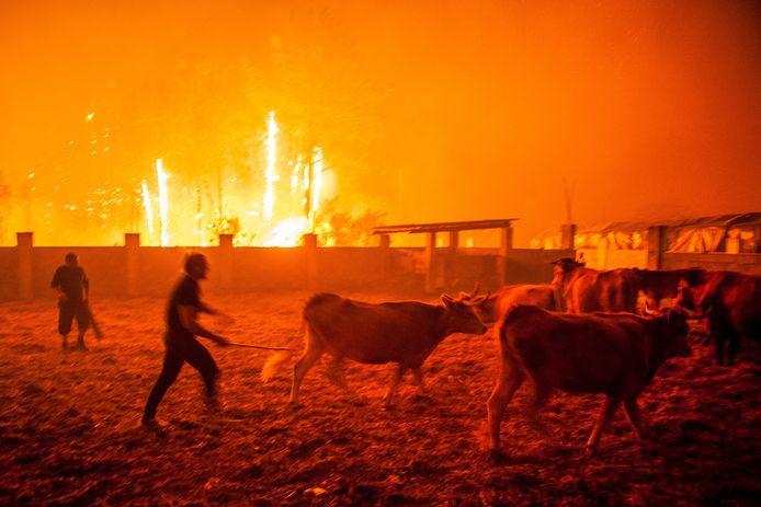 Een man verzamelt zijn vee tijdens de bosbrand in Vieira de Leiria, Marinha Grande, Portugal.