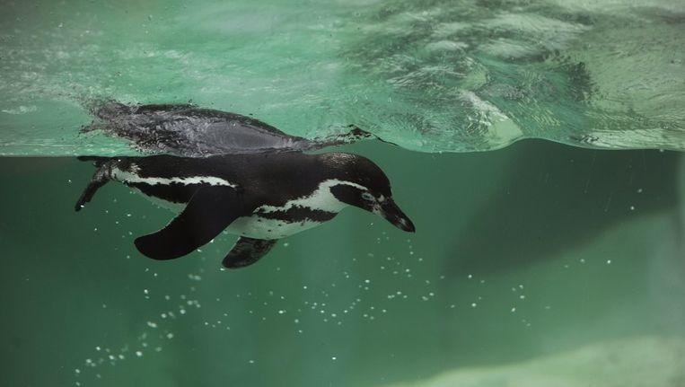 Een pinguïn is een voortreffelijke zwemmer, en kan daarom niet vliegen. Beeld afp