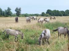 Heropvoeden Arnhemse konikpaarden mislukt, vier dieren naar slachterij