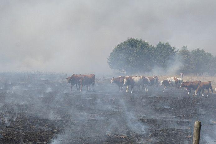 Koeien lopen over de verbrande wei in Loon op Zand