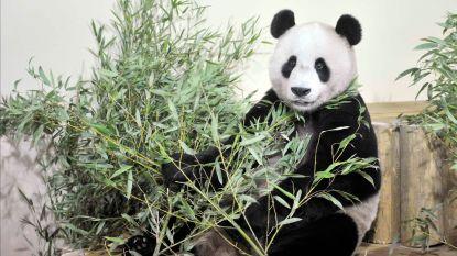 Schotse zoo treft opmerkelijke maatregelen om voortplanting reuzenpanda's te bevorderen