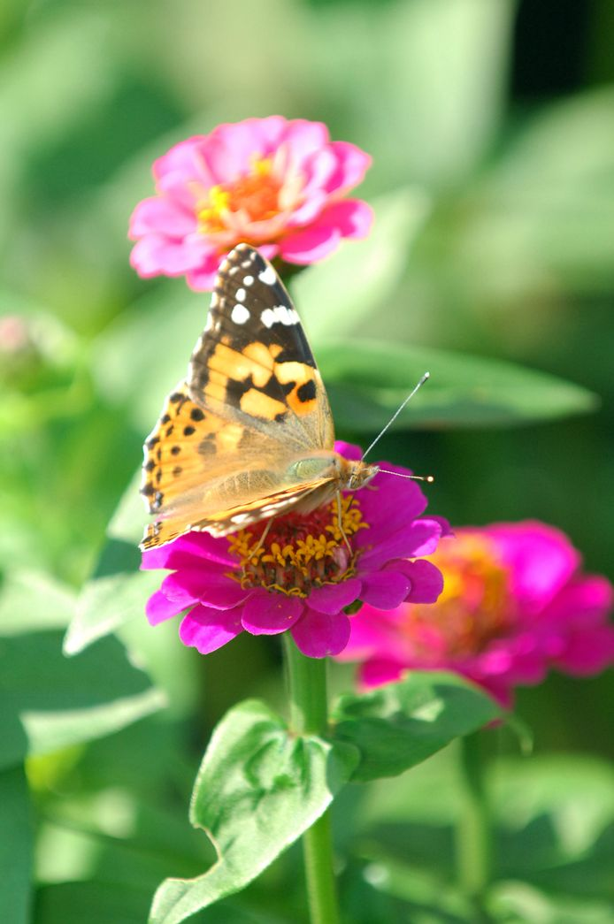 Vlinder in een pluktuin.