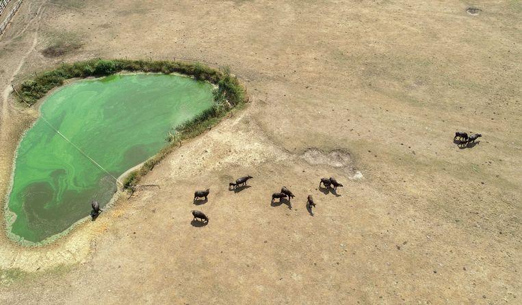 Waterbuffels zoeken verkoeling bij een waterpoel in Beckum. Beeld ANP