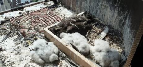 Duitse Natuurbescherming razend: onderzoek mysterieuze valkenmoord gestaakt