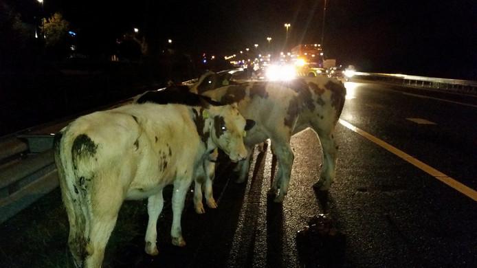 De koeien liepen over de weg ter hoogte van Moergestel.