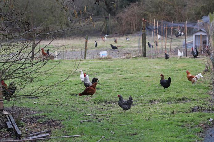 De gedumpte hanen lopen overal rond in Rockanje, zoals hier bij de Tweede Slag.