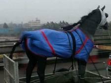 Paard op aanhangwagen in regen leidt tot verwarring